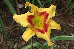 Tiger Swirl Daylily (Hemerocallis 'Tiger Swirl') at Bloomers Garden Center & Landscaping