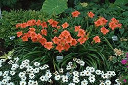 South Seas Daylily (Hemerocallis 'South Seas') at Bloomers Garden Center & Landscaping