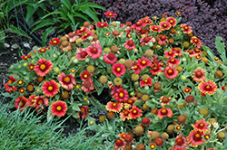 Arizona Red Shades Blanket Flower (Gaillardia x grandiflora 'Arizona Red Shades') at Bloomers Garden Center & Landscaping