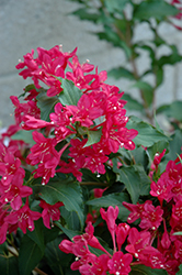 Sonic Bloom Red® Reblooming Weigela (Weigela florida 'Verweig 6') at Bloomers Garden Center & Landscaping