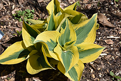 Autumn Frost Hosta (Hosta 'Autumn Frost') at Bloomers Garden Center & Landscaping
