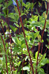 Bailey Red-Twig Dogwood (Cornus baileyi) at Bloomers Garden Center & Landscaping