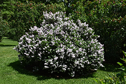 Miss Kim Lilac (Syringa patula 'Miss Kim') at Bloomers Garden Center & Landscaping