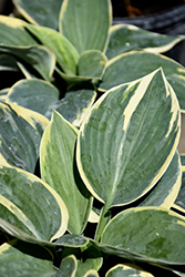 Sugar Daddy Hosta (Hosta 'Sugar Daddy') at Bloomers Garden Center & Landscaping