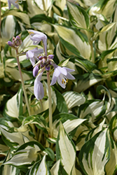 Loyalist Hosta (Hosta 'Loyalist') at Bloomers Garden Center & Landscaping