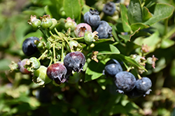 Jelly Bean® Blueberry (Vaccinium 'ZF06-179') at Bloomers Garden Center & Landscaping