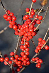 Berry Poppins® Winterberry (Ilex verticillata 'FARROWBPOP') at Bloomers Garden Center & Landscaping