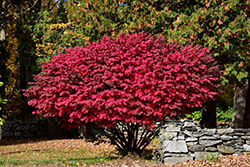 Winged Burning Bush (Euonymus alatus) at Bloomers Garden Center & Landscaping