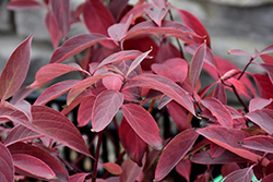 Arctic Fire® Red Twig Dogwood (Cornus sericea 'Farrow') at Bloomers Garden Center & Landscaping