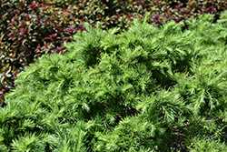 Romberg Park Dahurian Larch (Larix gmelinii 'Romberg Park') at Bloomers Garden Center & Landscaping