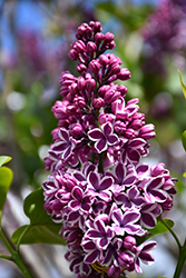 Sensation Lilac (Syringa vulgaris 'Sensation') at Bloomers Garden Center & Landscaping