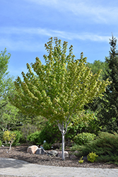 Autumn Spire Red Maple (Acer rubrum 'Autumn Spire') at Bloomers Garden Center & Landscaping