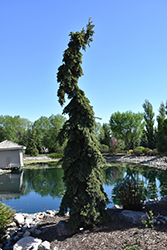 Weeping White Spruce (Picea glauca 'Pendula') at Bloomers Garden Center & Landscaping