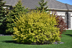 Dart's Gold Ninebark (Physocarpus opulifolius 'Dart's Gold') at Bloomers Garden Center & Landscaping