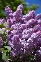 Common Lilac (Syringa vulgaris) at Bloomers Garden Center & Landscaping