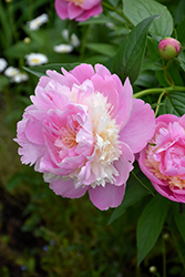 Sorbet Peony (Paeonia 'Sorbet') at Bloomers Garden Center & Landscaping