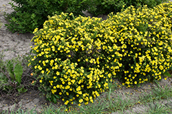 Dakota Sunspot Potentilla (Potentilla fruticosa 'Fargo') at Bloomers Garden Center & Landscaping