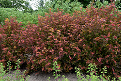 Amber Jubilee™ Ninebark (Physocarpus opulifolius 'Jefam') at Bloomers Garden Center & Landscaping