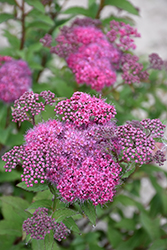 Superstar™ Spirea (Spiraea x bumalda 'Denistar') at Bloomers Garden Center & Landscaping