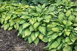 Paul's Glory Hosta (Hosta 'Paul's Glory') at Bloomers Garden Center & Landscaping
