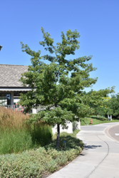 Majestic Skies™ Northern Pin Oak (Quercus ellipsoidalis 'Bailskies') at Bloomers Garden Center & Landscaping