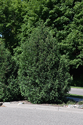 Techny Arborvitae (Thuja occidentalis 'Techny') at Bloomers Garden Center & Landscaping