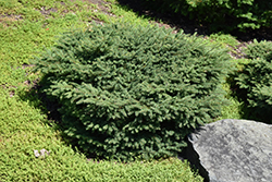 Birds Nest Spruce (Picea abies 'Nidiformis') at Bloomers Garden Center & Landscaping