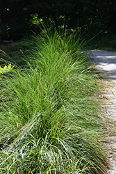Autumn Moor Grass (Sesleria autumnalis) at Bloomers Garden Center & Landscaping