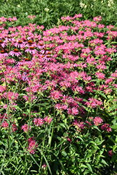 Coral Reef Beebalm (Monarda didyma 'Coral Reef') at Bloomers Garden Center & Landscaping