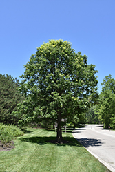 Bur Oak (Quercus macrocarpa) at Bloomers Garden Center & Landscaping