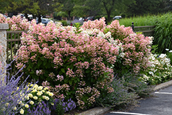 Quick Fire® Hydrangea (Hydrangea paniculata 'Bulk') at Bloomers Garden Center & Landscaping