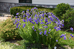 Astra Double Blue Balloon Flower (Platycodon grandiflorus 'Astra Double Blue') at Bloomers Garden Center & Landscaping