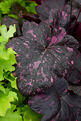 Midnight Rose Coral Bells (Heuchera 'Midnight Rose') at Bloomers Garden Center & Landscaping