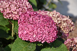 Invincibelle® Mini Mauvette Hydrangea (Hydrangea arborescens 'NCHA7') at Bloomers Garden Center & Landscaping