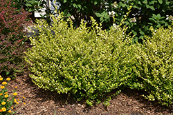 Cesky Gold® Dwarf Birch (Betula x plettkei 'Golden Treasure') at Bloomers Garden Center & Landscaping