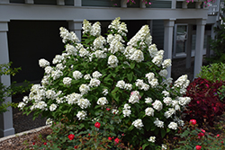 Fire Light® Hydrangea (Hydrangea paniculata 'SMHPFL') at Bloomers Garden Center & Landscaping