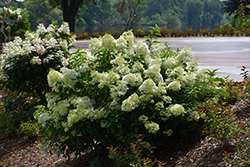 Little Lime® Hydrangea (Hydrangea paniculata 'Jane') at Bloomers Garden Center & Landscaping