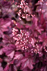 Wild Rose Coral Bells (Heuchera 'Wild Rose') at Bloomers Garden Center & Landscaping