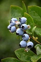 Northblue Blueberry (Vaccinium 'Northblue') at Bloomers Garden Center & Landscaping