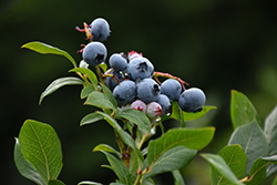 Northland Blueberry (Vaccinium corymbosum 'Northland') at Bloomers Garden Center & Landscaping
