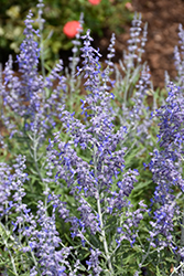 Lacey Blue Russian Sage (Perovskia atriplicifolia 'Lacey Blue') at Bloomers Garden Center & Landscaping
