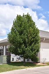 Patmore Green Ash (Fraxinus pennsylvanica 'Patmore') at Bloomers Garden Center & Landscaping