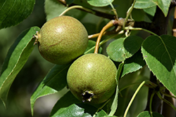 Golden Spice Pear (Pyrus ussuriensis 'Golden Spice') at Bloomers Garden Center & Landscaping