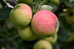 Norland Apple (Malus 'Norland') at Bloomers Garden Center & Landscaping
