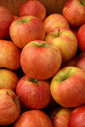 Honeycrisp Apple (Malus 'Honeycrisp') at Bloomers Garden Center & Landscaping