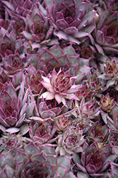 Red Beauty Hens And Chicks (Sempervivum 'Red Beauty') at Bloomers Garden Center & Landscaping