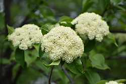 Nannyberry (tree form) (Viburnum lentago (tree form)) at Bloomers Garden Center & Landscaping