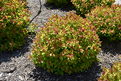 Double Play Big Bang® Spirea (Spiraea 'Tracy') at Bloomers Garden Center & Landscaping