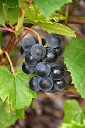 Beta Grape (Vitis 'Beta') at Bloomers Garden Center & Landscaping