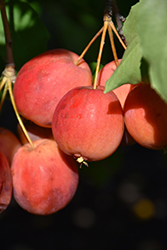 Centennial Apple (Malus 'Centennial') at Bloomers Garden Center & Landscaping
